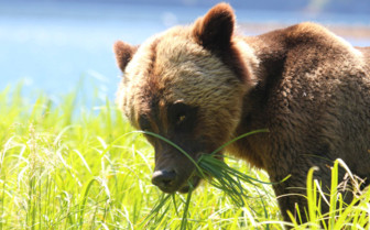 Grizzly bear in the grass