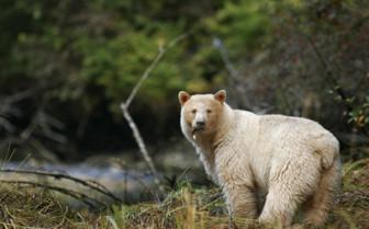 Spirit bear looking around