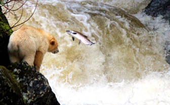 Spirit bear and salmon