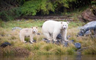 Spirit bear pair