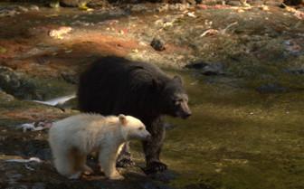 Brown bear and Spirit bear