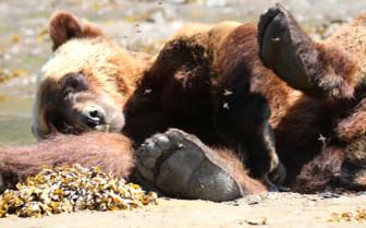 Lazy bear in the sun
