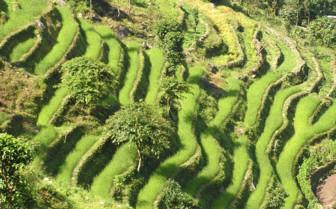 Sikkim terraced fields