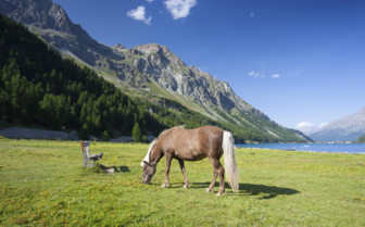 Horse on a pasture near the Lake Sils