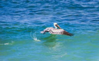 pelican flying on water
