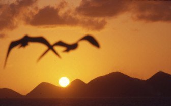Gulls flying at sunset tortola