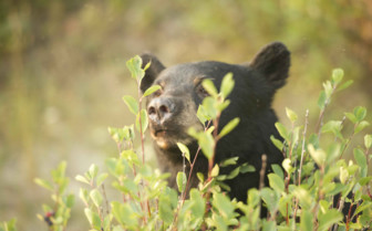 Wild Bear, Canadian Rockies