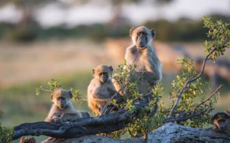 Baboons in Hwange