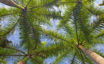Pine trees at Hacienda San Jose