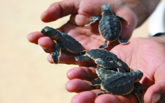 Setting turtles free on the hotel beach