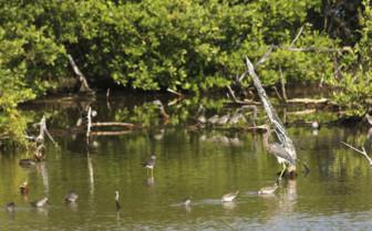 Great Blue Heron Cayo District Belize