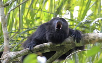 Howler Monkey Call Belize