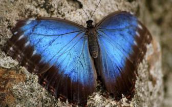 Peleides Blue Morpho Belize