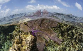 Ambergis Caye Belize Sea Fan
