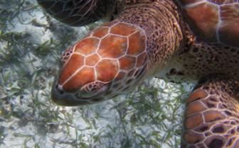 Amberges Caye Sea Turtles Belize