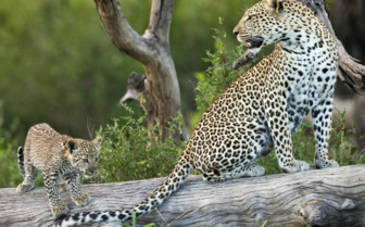 Serengeti Leopard and its Cub