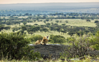 Roaring Lion in the Serengeti