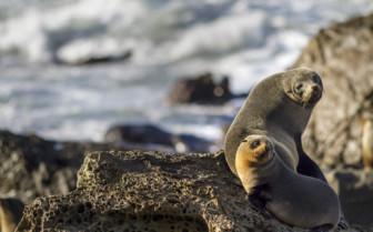 Fur Seal in New Zealand
