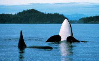 Vancouver Orcas