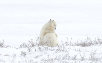 Hugging Polar Bears in Churchill
