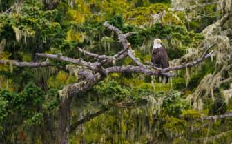 Bald Headed Eagle on Vancouver Island