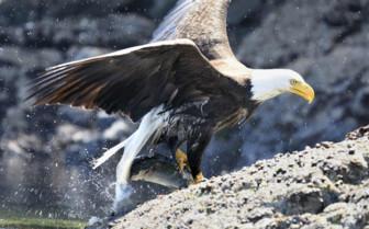 Bald Headed Eagle Salmon Fishing