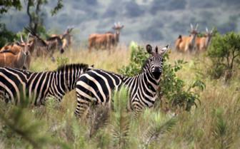 Zebra in Rwanda