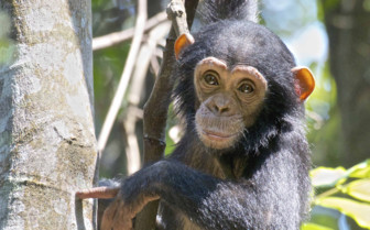 Baby Chimpanzee in the Tree