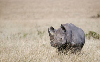 Rhino in Malawi