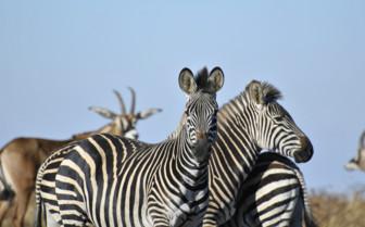 Zebras in the National Park
