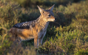 Wild Fox in Liwonde National Park