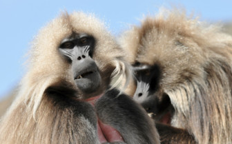 Gelada Baboons in the Siemen Mountains