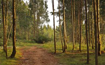 Eucalyptus Trees in Etiopia