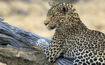 Leopard in Zimbabwe