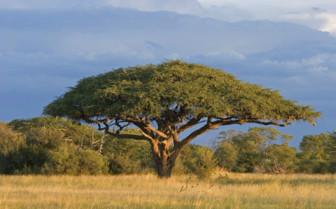 Zimbabwe Tree