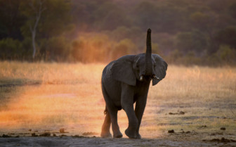 Elephant Playing in Hwange