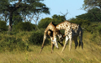 Two Giraffes Locking Necks in Zimbabwe