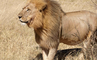 Male Lion in Hwange