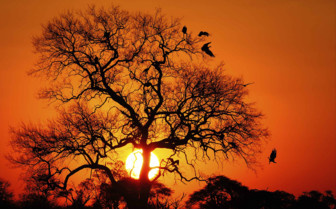 Vultures Tree at Sunset