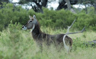 Waterbuck in Hwange