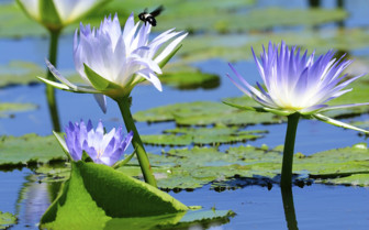 Waterlilies in Hwange