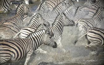 Zebras in Zambezi