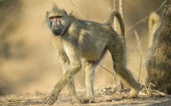 Chacma Baboon at Mana Pools