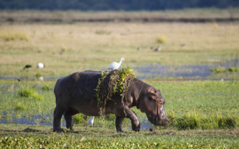Hippopotamus in Mana Pools
