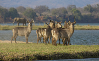 Waterbuck in Zambezi