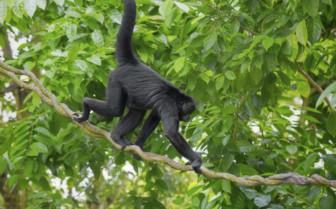 Spider Monkey in Guatemala