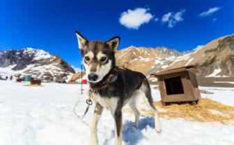 Sled Dog at Winterlake Lodge