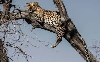 Leopard in the Trees, Botswana