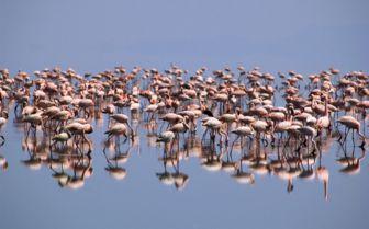 Flamingo, Senegal