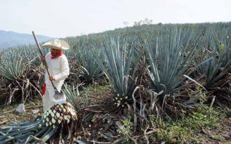 Agave Farming, Mexico